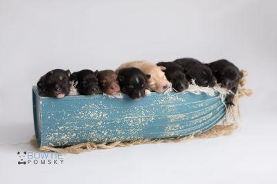 puppy145-152 week1 BowTiePomsky.com Bowtie Pomsky Puppy For Sale Husky Pomeranian Mini Dog Spokane WA Breeder Blue Eyes Pomskies Celebrity Puppy web2