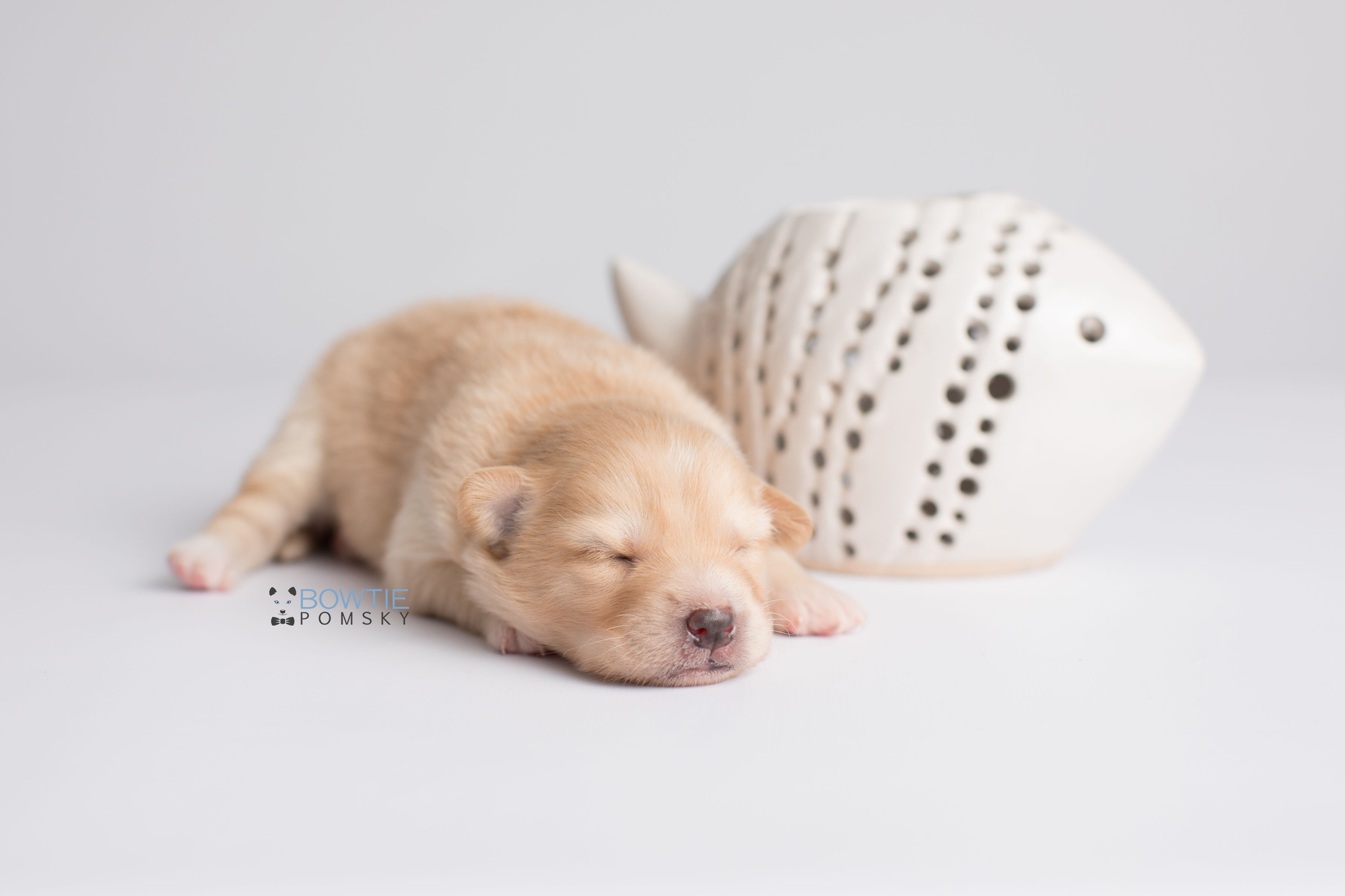 1st Gen Puppy – Boy – Gunner – 145 - Bowtie Pomsky LLC