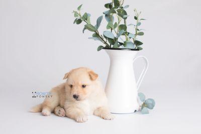 puppy145 week3 BowTiePomsky.com Bowtie Pomsky Puppy For Sale Husky Pomeranian Mini Dog Spokane WA Breeder Blue Eyes Pomskies Celebrity Puppy web1