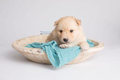 puppy145 week3 BowTiePomsky.com Bowtie Pomsky Puppy For Sale Husky Pomeranian Mini Dog Spokane WA Breeder Blue Eyes Pomskies Celebrity Puppy web5