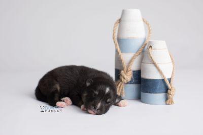 puppy146 week1 BowTiePomsky.com Bowtie Pomsky Puppy For Sale Husky Pomeranian Mini Dog Spokane WA Breeder Blue Eyes Pomskies Celebrity Puppy web3