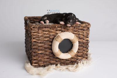puppy146 week1 BowTiePomsky.com Bowtie Pomsky Puppy For Sale Husky Pomeranian Mini Dog Spokane WA Breeder Blue Eyes Pomskies Celebrity Puppy web5
