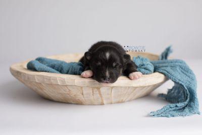 puppy146 week1 BowTiePomsky.com Bowtie Pomsky Puppy For Sale Husky Pomeranian Mini Dog Spokane WA Breeder Blue Eyes Pomskies Celebrity Puppy web6
