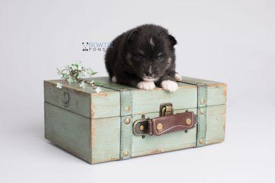 puppy146 week3 BowTiePomsky.com Bowtie Pomsky Puppy For Sale Husky Pomeranian Mini Dog Spokane WA Breeder Blue Eyes Pomskies Celebrity Puppy web2