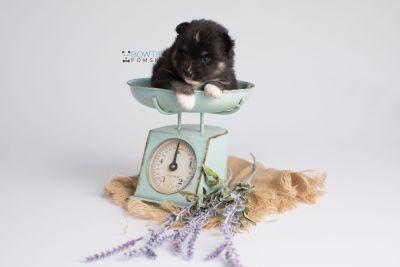 puppy146 week3 BowTiePomsky.com Bowtie Pomsky Puppy For Sale Husky Pomeranian Mini Dog Spokane WA Breeder Blue Eyes Pomskies Celebrity Puppy web3