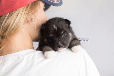 puppy146 week3 BowTiePomsky.com Bowtie Pomsky Puppy For Sale Husky Pomeranian Mini Dog Spokane WA Breeder Blue Eyes Pomskies Celebrity Puppy web7