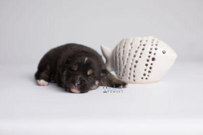 puppy147 week1 BowTiePomsky.com Bowtie Pomsky Puppy For Sale Husky Pomeranian Mini Dog Spokane WA Breeder Blue Eyes Pomskies Celebrity Puppy web4