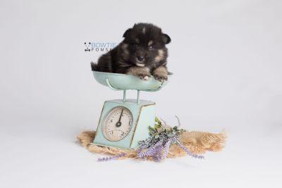 puppy147 week3 BowTiePomsky.com Bowtie Pomsky Puppy For Sale Husky Pomeranian Mini Dog Spokane WA Breeder Blue Eyes Pomskies Celebrity Puppy web4