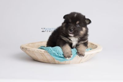 puppy147 week3 BowTiePomsky.com Bowtie Pomsky Puppy For Sale Husky Pomeranian Mini Dog Spokane WA Breeder Blue Eyes Pomskies Celebrity Puppy web6