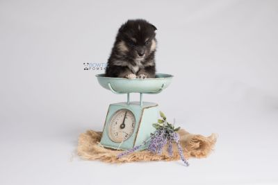 puppy148 week3 BowTiePomsky.com Bowtie Pomsky Puppy For Sale Husky Pomeranian Mini Dog Spokane WA Breeder Blue Eyes Pomskies Celebrity Puppy web4