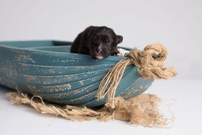 puppy149 week1 BowTiePomsky.com Bowtie Pomsky Puppy For Sale Husky Pomeranian Mini Dog Spokane WA Breeder Blue Eyes Pomskies Celebrity Puppy web1