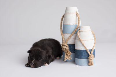 puppy149 week1 BowTiePomsky.com Bowtie Pomsky Puppy For Sale Husky Pomeranian Mini Dog Spokane WA Breeder Blue Eyes Pomskies Celebrity Puppy web5