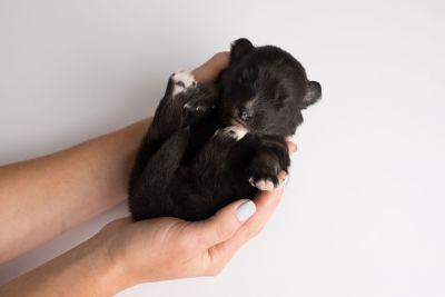 puppy149 week1 BowTiePomsky.com Bowtie Pomsky Puppy For Sale Husky Pomeranian Mini Dog Spokane WA Breeder Blue Eyes Pomskies Celebrity Puppy web9