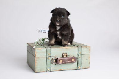 puppy149 week3 BowTiePomsky.com Bowtie Pomsky Puppy For Sale Husky Pomeranian Mini Dog Spokane WA Breeder Blue Eyes Pomskies Celebrity Puppy web6