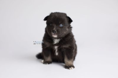 puppy149 week3 BowTiePomsky.com Bowtie Pomsky Puppy For Sale Husky Pomeranian Mini Dog Spokane WA Breeder Blue Eyes Pomskies Celebrity Puppy web8