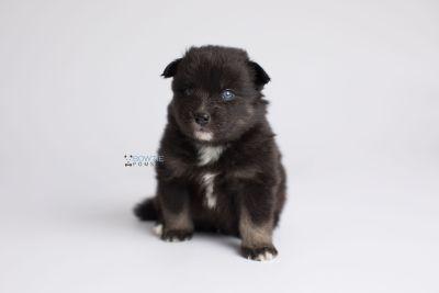 puppy149 week3 BowTiePomsky.com Bowtie Pomsky Puppy For Sale Husky Pomeranian Mini Dog Spokane WA Breeder Blue Eyes Pomskies Celebrity Puppy web8