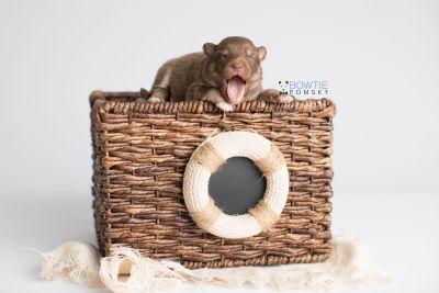 puppy150 week1 BowTiePomsky.com Bowtie Pomsky Puppy For Sale Husky Pomeranian Mini Dog Spokane WA Breeder Blue Eyes Pomskies Celebrity Puppy web2
