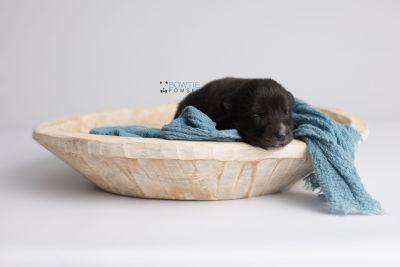 puppy150 week1 BowTiePomsky.com Bowtie Pomsky Puppy For Sale Husky Pomeranian Mini Dog Spokane WA Breeder Blue Eyes Pomskies Celebrity Puppy web8