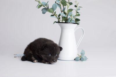 puppy150 week3 BowTiePomsky.com Bowtie Pomsky Puppy For Sale Husky Pomeranian Mini Dog Spokane WA Breeder Blue Eyes Pomskies Celebrity Puppy web1