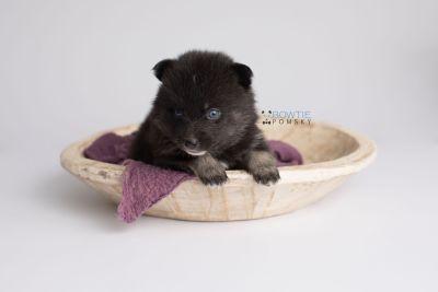 puppy150 week3 BowTiePomsky.com Bowtie Pomsky Puppy For Sale Husky Pomeranian Mini Dog Spokane WA Breeder Blue Eyes Pomskies Celebrity Puppy web5