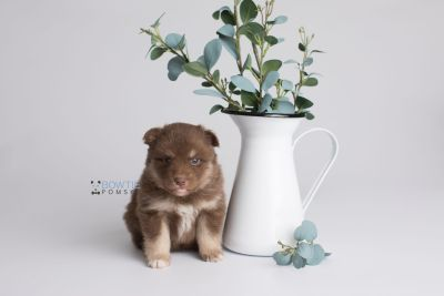 puppy151 week3 BowTiePomsky.com Bowtie Pomsky Puppy For Sale Husky Pomeranian Mini Dog Spokane WA Breeder Blue Eyes Pomskies Celebrity Puppy web2