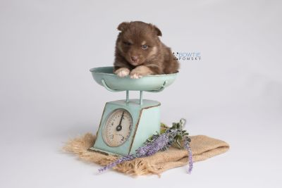 puppy151 week3 BowTiePomsky.com Bowtie Pomsky Puppy For Sale Husky Pomeranian Mini Dog Spokane WA Breeder Blue Eyes Pomskies Celebrity Puppy web5