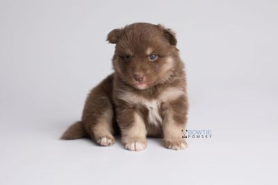 puppy151 week3 BowTiePomsky.com Bowtie Pomsky Puppy For Sale Husky Pomeranian Mini Dog Spokane WA Breeder Blue Eyes Pomskies Celebrity Puppy web7
