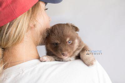 puppy151 week3 BowTiePomsky.com Bowtie Pomsky Puppy For Sale Husky Pomeranian Mini Dog Spokane WA Breeder Blue Eyes Pomskies Celebrity Puppy web8