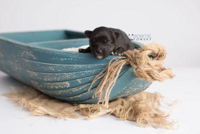 puppy152 week1 BowTiePomsky.com Bowtie Pomsky Puppy For Sale Husky Pomeranian Mini Dog Spokane WA Breeder Blue Eyes Pomskies Celebrity Puppy web1