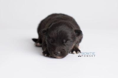 puppy152 week1 BowTiePomsky.com Bowtie Pomsky Puppy For Sale Husky Pomeranian Mini Dog Spokane WA Breeder Blue Eyes Pomskies Celebrity Puppy web6