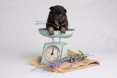 puppy152 week3 BowTiePomsky.com Bowtie Pomsky Puppy For Sale Husky Pomeranian Mini Dog Spokane WA Breeder Blue Eyes Pomskies Celebrity Puppy web3