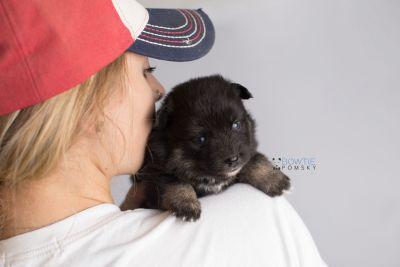 puppy152 week3 BowTiePomsky.com Bowtie Pomsky Puppy For Sale Husky Pomeranian Mini Dog Spokane WA Breeder Blue Eyes Pomskies Celebrity Puppy web7