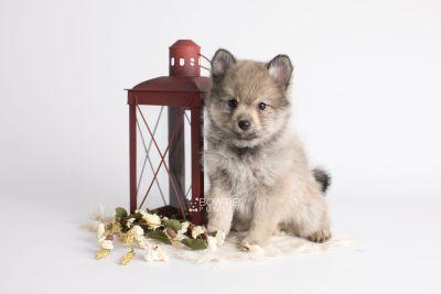 puppy143 week7 BowTiePomsky.com Bowtie Pomsky Puppy For Sale Husky Pomeranian Mini Dog Spokane WA Breeder Blue Eyes Pomskies Celebrity Puppy web1