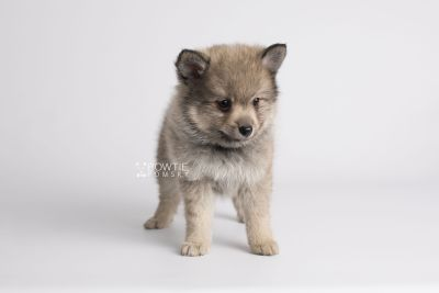 puppy143 week7 BowTiePomsky.com Bowtie Pomsky Puppy For Sale Husky Pomeranian Mini Dog Spokane WA Breeder Blue Eyes Pomskies Celebrity Puppy web7