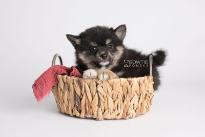 puppy144 week7 BowTiePomsky.com Bowtie Pomsky Puppy For Sale Husky Pomeranian Mini Dog Spokane WA Breeder Blue Eyes Pomskies Celebrity Puppy web3