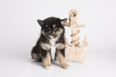 puppy144 week7 BowTiePomsky.com Bowtie Pomsky Puppy For Sale Husky Pomeranian Mini Dog Spokane WA Breeder Blue Eyes Pomskies Celebrity Puppy web4