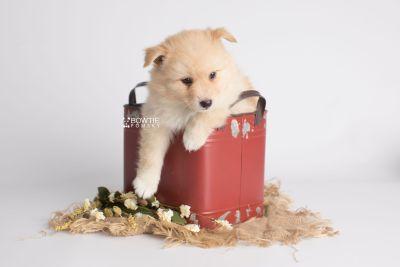 puppy145 week5 BowTiePomsky.com Bowtie Pomsky Puppy For Sale Husky Pomeranian Mini Dog Spokane WA Breeder Blue Eyes Pomskies Celebrity Puppy web2