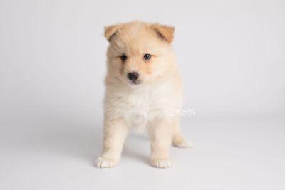 puppy145 week5 BowTiePomsky.com Bowtie Pomsky Puppy For Sale Husky Pomeranian Mini Dog Spokane WA Breeder Blue Eyes Pomskies Celebrity Puppy web6