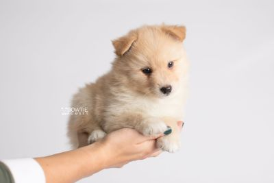 puppy145 week5 BowTiePomsky.com Bowtie Pomsky Puppy For Sale Husky Pomeranian Mini Dog Spokane WA Breeder Blue Eyes Pomskies Celebrity Puppy web7