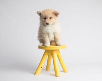 puppy145 week7 BowTiePomsky.com Bowtie Pomsky Puppy For Sale Husky Pomeranian Mini Dog Spokane WA Breeder Blue Eyes Pomskies Celebrity Puppy web6