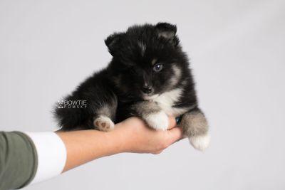 puppy146 week5 BowTiePomsky.com Bowtie Pomsky Puppy For Sale Husky Pomeranian Mini Dog Spokane WA Breeder Blue Eyes Pomskies Celebrity Puppy web9