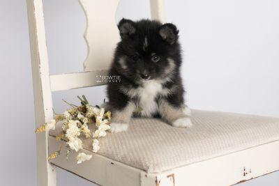 puppy146 week7 BowTiePomsky.com Bowtie Pomsky Puppy For Sale Husky Pomeranian Mini Dog Spokane WA Breeder Blue Eyes Pomskies Celebrity Puppy web1