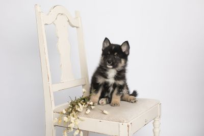 puppy147 week7 BowTiePomsky.com Bowtie Pomsky Puppy For Sale Husky Pomeranian Mini Dog Spokane WA Breeder Blue Eyes Pomskies Celebrity Puppy web1