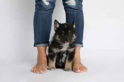 puppy147 week7 BowTiePomsky.com Bowtie Pomsky Puppy For Sale Husky Pomeranian Mini Dog Spokane WA Breeder Blue Eyes Pomskies Celebrity Puppy web7