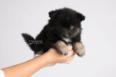 puppy148 week5 BowTiePomsky.com Bowtie Pomsky Puppy For Sale Husky Pomeranian Mini Dog Spokane WA Breeder Blue Eyes Pomskies Celebrity Puppy web10