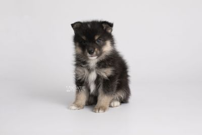 puppy148 week5 BowTiePomsky.com Bowtie Pomsky Puppy For Sale Husky Pomeranian Mini Dog Spokane WA Breeder Blue Eyes Pomskies Celebrity Puppy web8