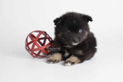 puppy148 week5 BowTiePomsky.com Bowtie Pomsky Puppy For Sale Husky Pomeranian Mini Dog Spokane WA Breeder Blue Eyes Pomskies Celebrity Puppy web8