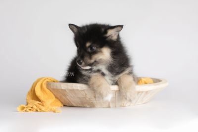 puppy148 week7 BowTiePomsky.com Bowtie Pomsky Puppy For Sale Husky Pomeranian Mini Dog Spokane WA Breeder Blue Eyes Pomskies Celebrity Puppy web3