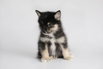 puppy148 week7 BowTiePomsky.com Bowtie Pomsky Puppy For Sale Husky Pomeranian Mini Dog Spokane WA Breeder Blue Eyes Pomskies Celebrity Puppy web7