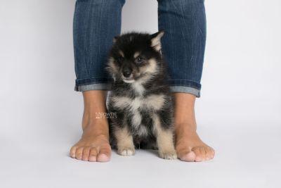 puppy148 week7 BowTiePomsky.com Bowtie Pomsky Puppy For Sale Husky Pomeranian Mini Dog Spokane WA Breeder Blue Eyes Pomskies Celebrity Puppy web8